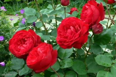 Autour de la famille de sachannah for Parterre de roses photos